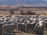 Swanndri and NZ Merino join forces