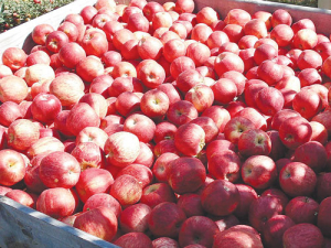 This year's apple crop is expected to be of high quality.