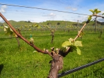 Spring growth such as this can be decimated by strong winds and frost, making life tough for Wairarapa growers.