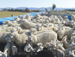 Australian research has found that a calm temperament in ewes improves both ovulation rate and more successful pregnancies.