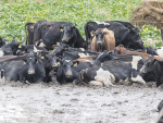 Images like this of cattle in mud has sparked the winter grazing campaign.