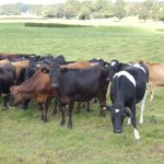 Make most of the rain- DairyNZ