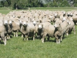 The Manawatu-Whanganui region has the largest number of sheep and beef cattle of any in New Zealand.