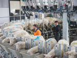 Farmers between Auckland and Taupo can now begin sheep milking with Maui Milk.