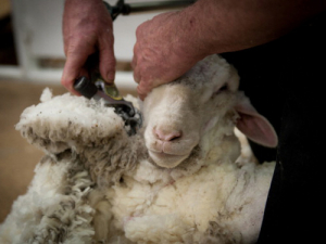 The Merino Championships in the Central Otago town of Alexandra has begun.