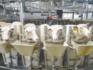 Be Well Food Group, Shanghai, is a major stakeholder in the 770ha Waikino Station now known as Maui Sheep Milk Company.