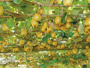 MPI's latest SOPI report paints a particularly positive outlook for kiwifruit.