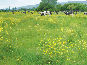 Giant buttercup in dairy pasture cost the industry $600m every year.