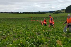 Joint effort needed to manage velvetleaf
