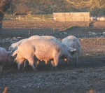 Study highlights pig traceability problem