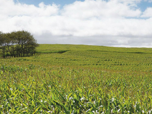 What is the ideal planting window for maize silage?