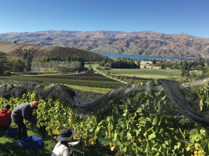 TOSQ's organically certified vineyard near Cromwell.