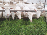 The goat industry aims to double the size of the country's milking goat herd to about 100,000.