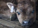 MPI is launching an investigation into Farmwatch footage featuring bobby calves being dropped, dragged and thrown.