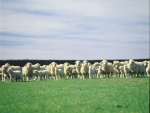 Mangarata Farm is looking at gains from producing more quality finishing lambs.