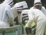 Sticky times for small beekeepers