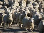 Statistics NZ is telling us that the country's sheep flock is down to its lowest number since 1943.