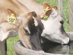 Cows seek water up to six times a day.
