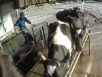 Farmwatch released footage of a Northland sharemilker beating a cow with a steel pipe.