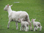 Plan for hogget breeding