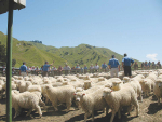 Different management systems are needed for lambing at 150% compared with 110%.