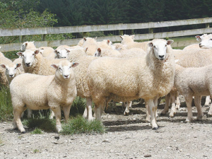 Rams bred for parasite resistance. Photo: Kate Broadbent.
