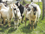 Garrick Batten says it is important for farmers to remember that goats are not sheep.
