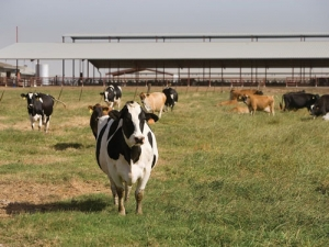Methane emissions from cattle in Australia are 24% lower than previously estimated.