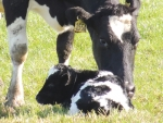 Clues to in-calf conundrum
