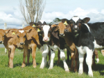 Growing your calves well