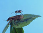 The wasp on a clover root weevil.