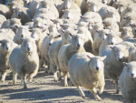 Big drop in sheep measles