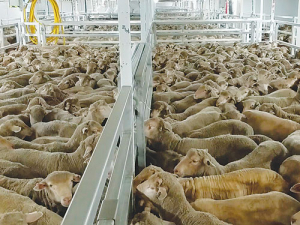 Aussie live exports under microscope