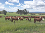 Australian and New Zealand beef breeders, farmers and science providers met in Albury-Wodonga this month, as a landmark trans-Tasman collaboration kicked off. The trip included a visit to Wirruna Poll Herefords, a seedstock producer providing bulls to commercial farmers.