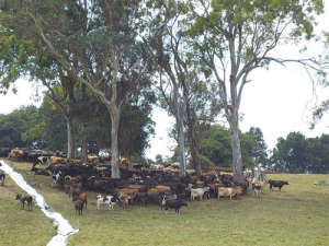 Cows crowd together and seek shade when the temperature soars.