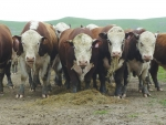 Finance plan for Hereford bull sales