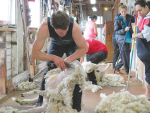 Benefits of shearing pregnant ewes