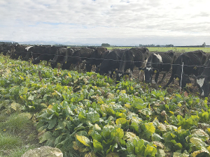 Most farmers feed out fodder beet, kale and swede to keep the cows in best condition during winter.