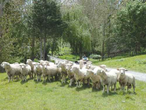 The health and longevity of commercial rams is an area where farmers can make a big impact.