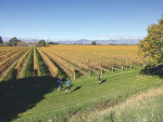 Running through vineyards is one of the highlights of the Saint Clair annual half marathon.