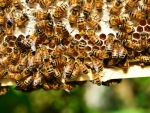 New Zealand agriculture stands to lose $295-728 million annually if the local honeybee population continues to decline.