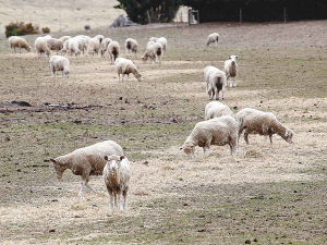 NZ's sheep flock shrinks