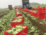 Vege crops at risk of rotting