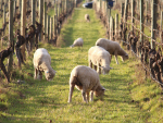 Integrating sheep onto vineyards