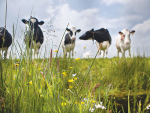 European dairy processors are encouraging farmers to graze more cows.