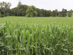 Great-looking maize crops have been growing across the country.