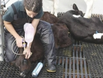 A survey shows young farm workers more likely to use pain relief on animals.