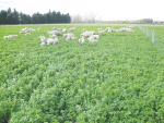 Interest in lucerne – particularly in summer dry areas – is growing.