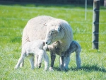 Massey research turns-up top lambing tips