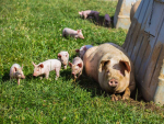 Pig sector joins the chorus